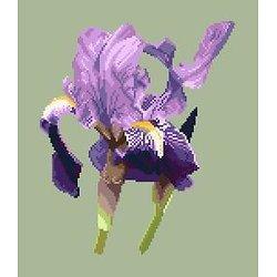Iris des jardins diagramme couleur