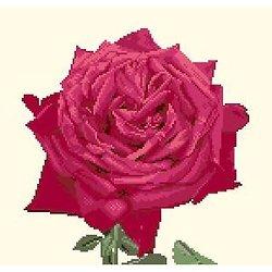 Portrait de rose diagramme couleur .pdf