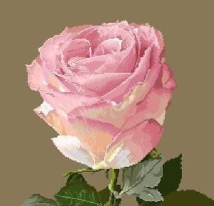 Portrait de rose IX diagramme couleur