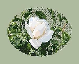 Rose blanche diagramme noir et blanc