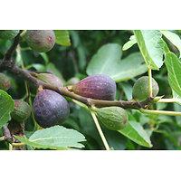 Ficus carica - Figuier autofertile