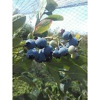 Vaccinium corymbosum - Bleuet