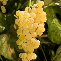 Vitis lambrusca - Raisin blanc sans pépin