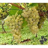 Vitis sp. - Raisin blanc