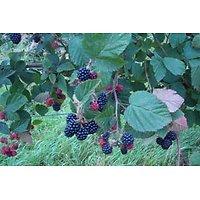Rubus x - Ronce à mûres sans épine