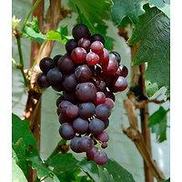 Vitis vinifera - Raisin rouge