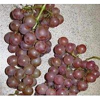 Vitis vinifera - Raisin Rose