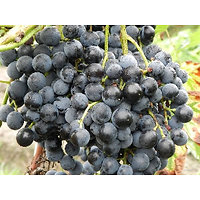 Vitis vinifera - Raisin noir