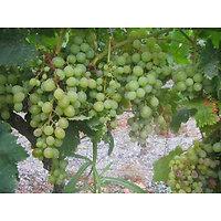 Vitis vinifera - Raisin blanc