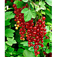 Ribes rubrum - Groseillier à grappes rouges