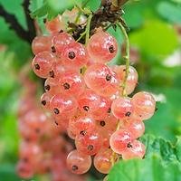 Ribes rubrum - Groseillier à grappes roses