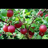 Ribes uva-crispa - Groseille à maquereaux