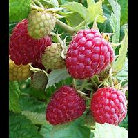 Rubus idaeus - Framboiser rouge
