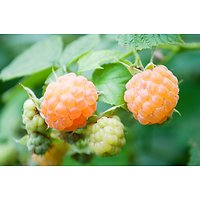 Rubus idaeus - Framboisier jaune