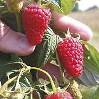 Rubus idaeus - Framboisier Rouge