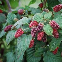 Rubus fruticosus x R. idaeus  -  Muroise Tayberry