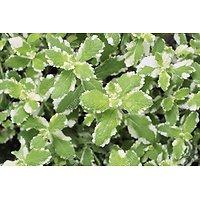 Mentha x rotundifolia- Menthe suave panachée