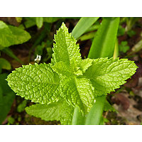 Mentha spicata - Menthe marocaine