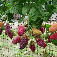 Rubus x loganobaccus - Muroise de Logan