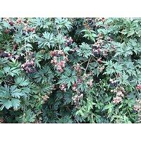 Rubus laciniatus - Ronce à mûres