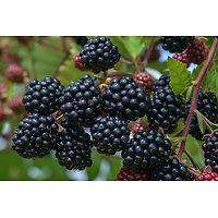 Rubus fructicosus - Ronce à mûres