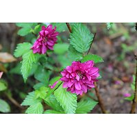 Rubus spectabilis - Ronce ornementale