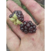 Rubus ursinus × R. idaeus.   Muroise 'Boysenberry'