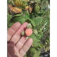 Rubus daeus - Framboisier jaune