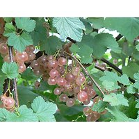 Ribes rubrum - Groseille Rose