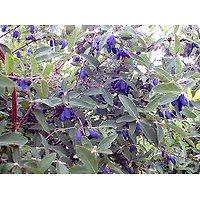 Lonicera caerulea - Camerisier - Baie de Mai