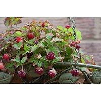 Rubus arcticus - Framboisier arctique