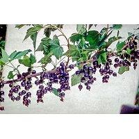 Ribes nigrum - Cassissier
