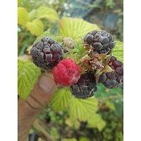 Rubus neglectus - Framboises pourpres
