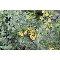 Groseillier doré - Ribes aureum