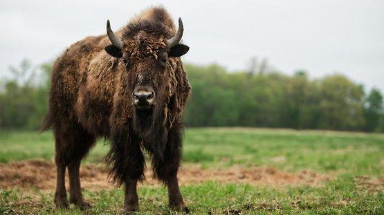 Produits du bison & Fèves