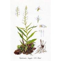 Orchidaceae Belgicae 3