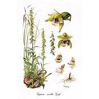Orchideceae Belgicae 5