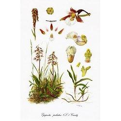 Ochidaceae  Belgicae 1