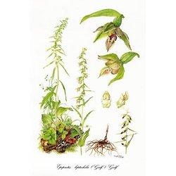 Orchidaceae Belgicae 4